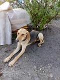 Продам щенок руська гонча Костопіль