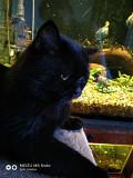 Кот для вязки. Обрлонь. Британец Київ