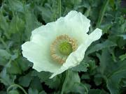 Продам семена цветов Мак Ужгород