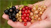 продам саженцы смородины разных цветов Київ