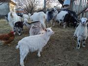 Продам кіз з козенятами! Кобеляки