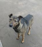 Собачка для охраны и для души Кременчук