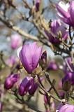 """Магнолия лилиецветная Лилиефлора Нигра ( Magnolia liliiflora """"Nigra"""") Луцк"""