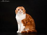 Шотландский вислоухий кот для вязки Київ