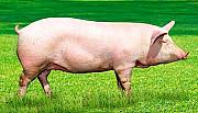 Продам свиню Любомль