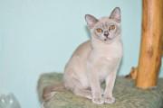 бурманские котята Київ