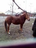 Продам кобилу Сарни