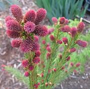 Хвойные Растения. Привитые И Привитые На Штамб Запоріжжя