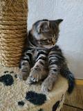 Очень красивые шотландские котята Запоріжжя