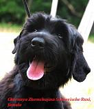 Продам щенков русского чёрного терьера Киев