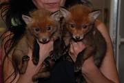 Рыжая европейская лисица, ручные домашние лисята Київ