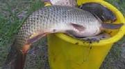 Продам рыбу Чорнобай