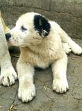 Продам щенка САО Алабай Кропивницький