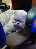 Вязка вислоухий шотландский кот скоттиш фолд Коростень