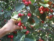 саженцы крупноплодного боярышника Днепр