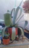 Продам комнатное растение Агава Запоріжжя