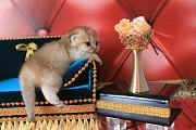 Красивый котик британская шиншилла золотая Покровськ